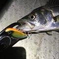 takatoraさんの宮城県牡鹿郡での釣果写真