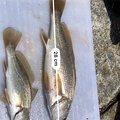 しげちゃんさんの宮城県石巻市での釣果写真