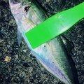 最近はアジングばっかりさんの兵庫県宍粟市での釣果写真