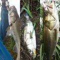 マンボウさんの千葉県野田市での釣果写真