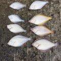 kathuさんの北海道亀田郡での釣果写真