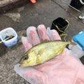 いかちゃんさんの千葉県館山市での釣果写真