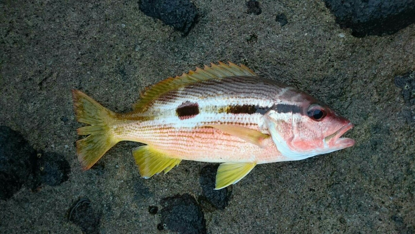 ちっちゃいじじさんの投稿画像,写っている魚はヨコスジフエダイ