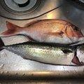 ヒロッシーさんの静岡県静岡市でのマサバの釣果写真