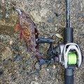 まーさー2さんの兵庫県でのカサゴの釣果写真