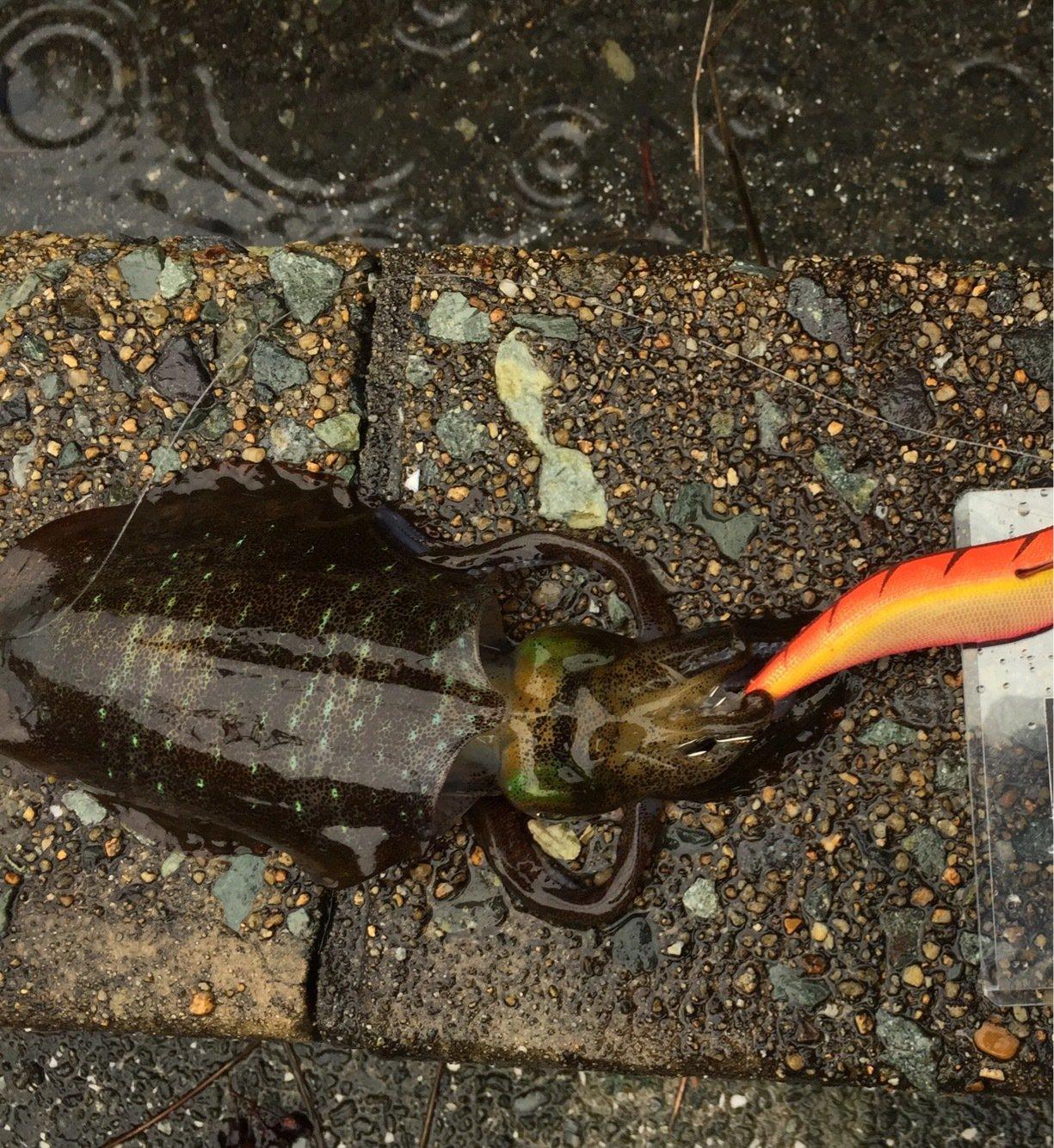 ひろさんの投稿画像,写っている魚はアオリイカ