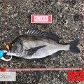 ドカさんの石川県輪島市での釣果写真
