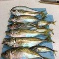 やっちゃんとさんの熊本県での釣果写真