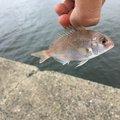 釣りがエナジーさんの福岡県福岡市での釣果写真