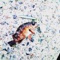 ゆうさんの島根県浜田市でのメバルの釣果写真