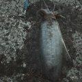 まさしさんの福岡県でのアオリイカの釣果写真
