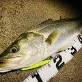 NCMさんの新潟県新潟市での釣果写真