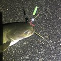 ドドレファンさんの岡山県倉敷市でのナマズの釣果写真