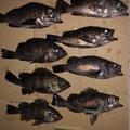北村幸彦さんの三重県鳥羽市での釣果写真