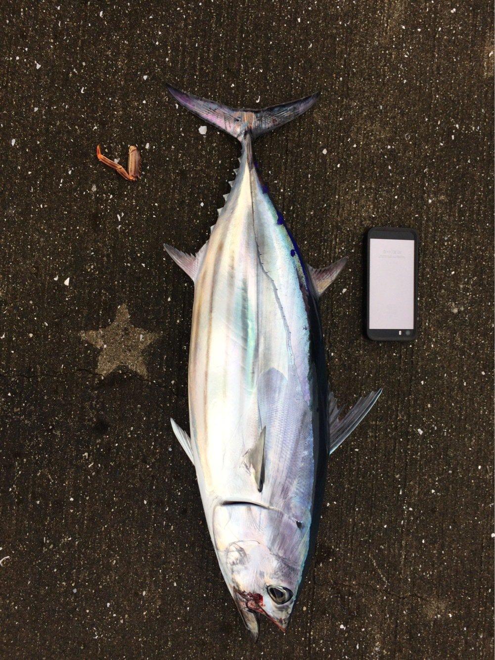 MAXさんの投稿画像,写っている魚はカツオ