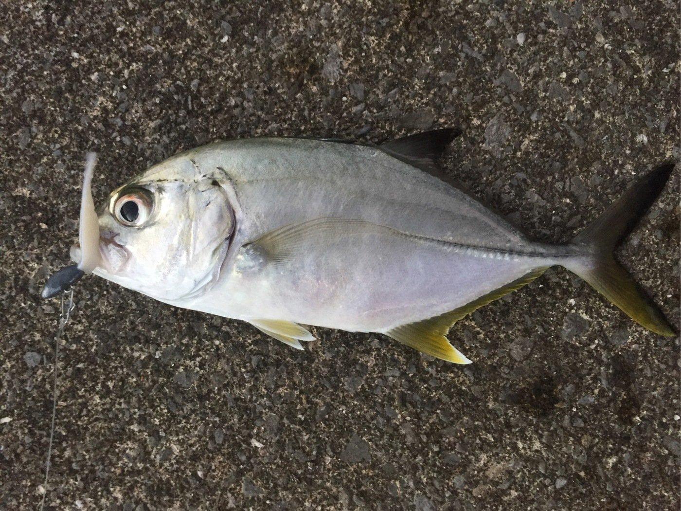 ルアー戦士ロストマンさんの投稿画像,写っている魚はギンガメアジ