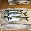 さかもとっぷけいさんの神奈川県での釣果写真