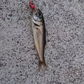 たいやきさんの島根県での釣果写真