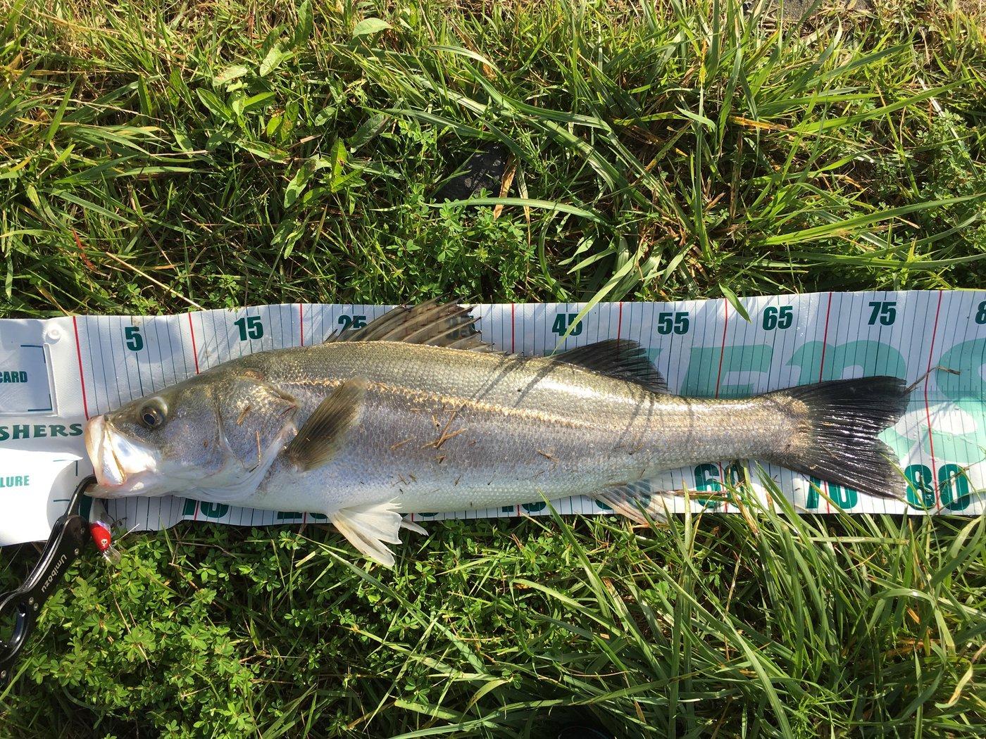けんてぃーさんの投稿画像,写っている魚はスズキ