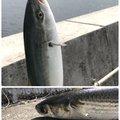 yukiさんの兵庫県神戸市での釣果写真