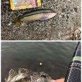 ヨッシーさんの香川県での釣果写真