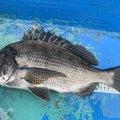 ひろのりさんの静岡県沼津市でのクロダイの釣果写真