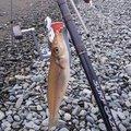 ひできちさんの神奈川県小田原市での釣果写真