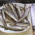じゅんさんの新潟県でのシロギスの釣果写真