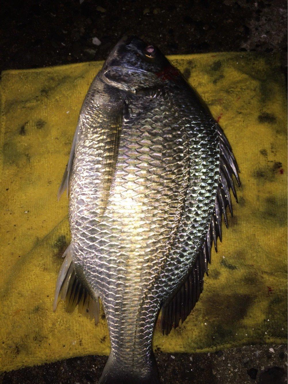 ヨッシーK2さんの投稿画像,写っている魚はキチヌ
