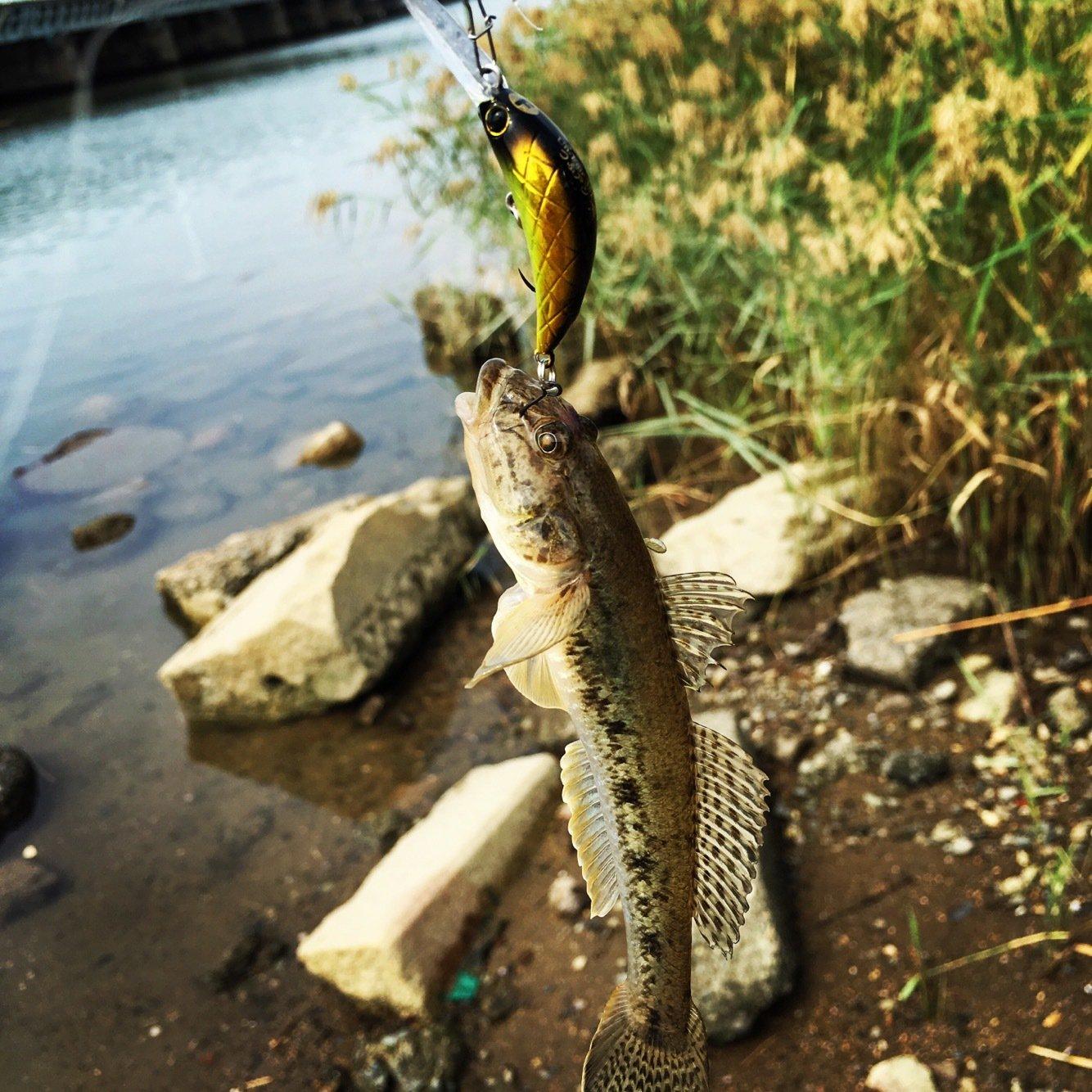 t2yaaanさんの投稿画像,写っている魚はマハゼ