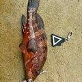とっしー(*^^*)さんの島根県での釣果写真