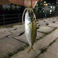 さいとうさんの石川県鳳珠郡でのアジの釣果写真