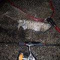 higuさんのコウイカの釣果写真