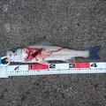 MWAMさんの石川県での釣果写真