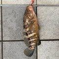 サゴシkillerELさんの富山県射水市での釣果写真