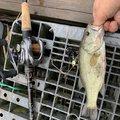はいどさんの千葉県での釣果写真