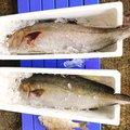 薩摩 遊漁船団 糸さんのカンパチの釣果写真