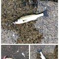 かずさんの千葉県習志野市での釣果写真