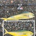 kiyo piroさんのシイラの釣果写真