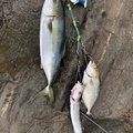 真内さんの神奈川県での釣果写真