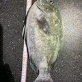 おじゃマルさんの神奈川県での釣果写真