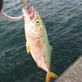 みっちぃさんの石川県での釣果写真