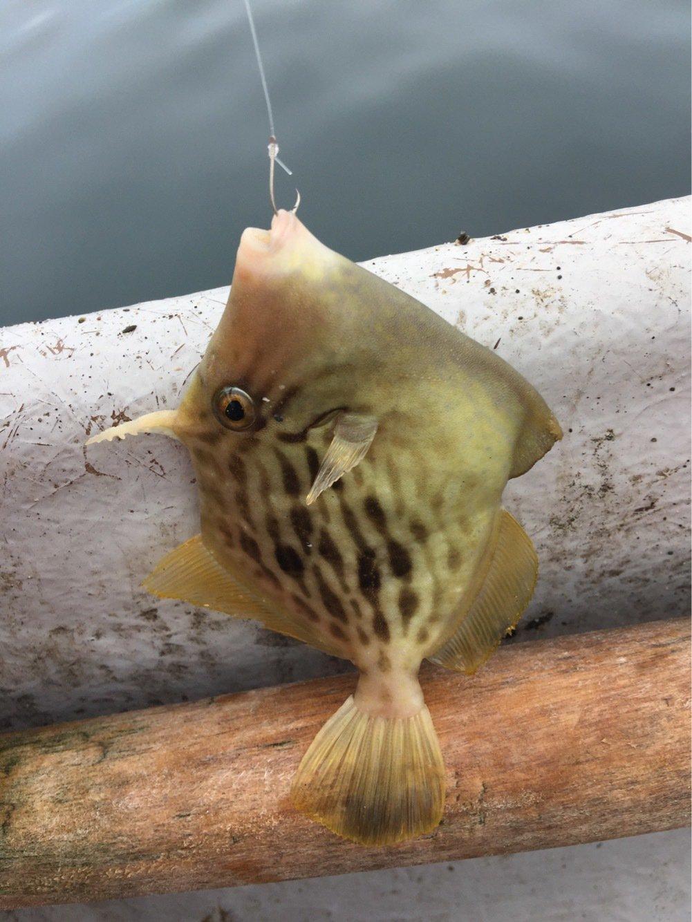 314-KTYMさんの投稿画像,写っている魚はカワハギ