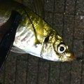 白帯アングラーさんの神奈川県横浜市での釣果写真