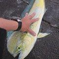 hiroさんのシイラの釣果写真