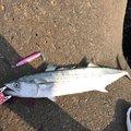 ジグ太郎さんの山口県阿武郡での釣果写真