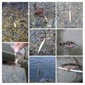 インチキレフティーさんの神奈川県小田原市での釣果写真