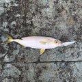 マサちゃんさんの兵庫県神戸市での釣果写真