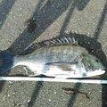 カイリさんの静岡県での釣果写真