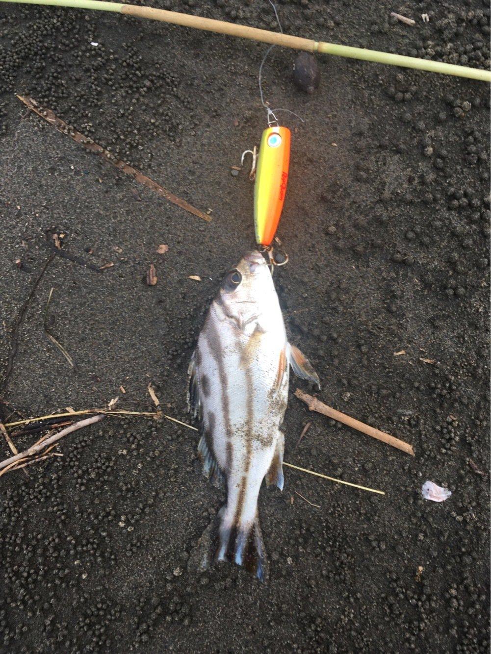 気まぐれ釣り人さんの投稿画像,写っている魚はコトヒキ
